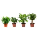 Koffieplant, Dieffenbachia compacta, Ficus Green Kinky en Ficus Natasja