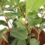 Thee plant(Camellia Sinensis)