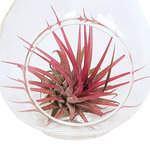 Love is in the air 2(Tillandsia)