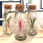 Love is in the air 3(Tillandsia)