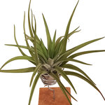 Love is in the air 4(Tillandsia)